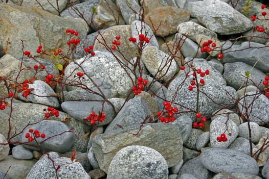 Red Sprigs Among the Rocks, Kejimkujik Seaside, N.S.